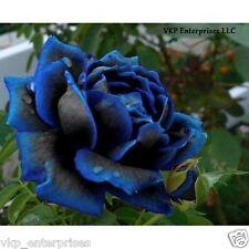 20 Midnight Supreme Rose Bush Flower Seeds Organically & USA Grown Annual Bloom