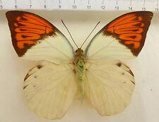 Hebomoia glaucippe ssp.celebensis M aus Peleng, Molukken,  IND n225