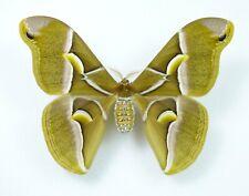 Samia cynthia Weibchen