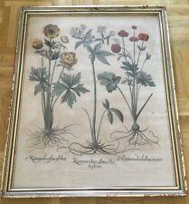 "Basilius Besler base de grifo - ""Ranunculus Albus flo"" 1613, Hortus Eystettensis"