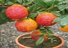 20 PCS/BAG SEEDS red lemon tree also is Blood Orange Organic fruit seeds bonsai