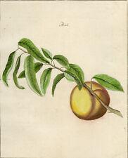 Antique Print-PEACH-PRUNUS-Pomologia-Knoop-1758