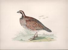 1855 Bird original print Virginian Partridge Beverley R. Morris