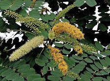 Red Sandalwood (Adenanthera pavonina) - 15 Fresh  Seeds