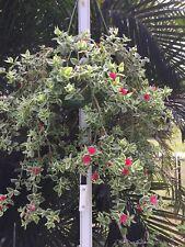 APTENIA VARIEGATA,RED APPLE APTENIA, ICE PLANT, BABY SUNROSE, 2 ROOTED + 4 CUT