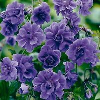 10 Double Purple Geranium Seeds Hanging Basket Perennial Flower Seed Annual 258
