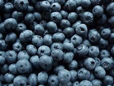 "Blueberry ""Emerald"" High Bush live plant vaccinium"