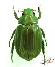 Shining beetle Chrysina rodriquez SET x1 Male A1 rutelidae Guatemala *RARE*
