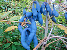 rare, Blue Sausage Shrub, Decaisnea fargesii, flowering shrub, hardy, edible