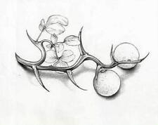 "Poncirus trifoliata ""Flying Dragon"" 2 year old seedling sent bare root"