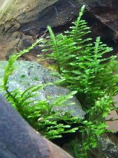 Christmas Moss Live Aquarium Fish-Tank Plant Easy to grow