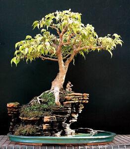 Sacred Fig Bhodi Bonsai Ficus Religiosa Tropical House Plant 15 Fresh Rare Seeds