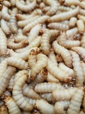 XXL Bienenmaden ( Wachsmottenlarven ) lebend ( , 100, 200 , 500, 1000 Stück)