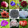 Baum-/Strauch-Pfingstrose-Paeonia rockii 120 Seeds-mixed seeds-Päonie-Tree J5N8