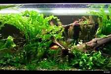 2  aponogeton ulvaceus plante aquarium tres rare