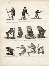 GRAVURE XVIIIe / SINGES mandrill, gibbon, macaque, grand papion, talapoin..