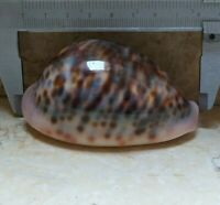 cypraea pantherina 82 mm F+++ f++++ shell natural glossy