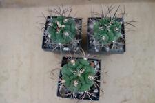 3 5 10 Dark Khaki Oxalis woodsorell jaune rocaille rampante Trèfle Mini plantes