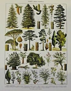Art Print poster affiche  Antique Book Page  Sapin Pin Epicéa Aubépine Caroubier