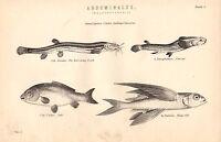 1868 Estampado ~ Abdominales Malacopterygii Flying Pescado Carpa Burrowing Loach