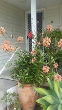 Peach Cattleya X Crucifix Orchid Epidendrum RARE!!!