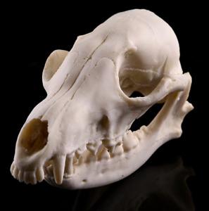 Tierschädel Roter Fuchsschädel  Knochen  Ausbildung der Taxifahrer