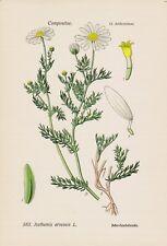 100 graines Färber Camomille anthemis tinctoria Camomille Färber plante