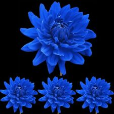 Rare Blue Dahlia Annual Flower Seeds Home Garden DIY Indoor Plants Decoration