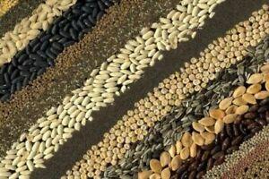 Fallugia paradoxa,  20 seeds