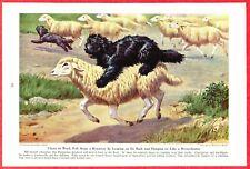 1944 Dog Print Illustration ~ Puli Hungarian Shepherd ~ Art by Walter A. Weber