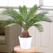 Cycas Revoluta - Sago Palm | Best Indoor Plants for Sale | 30-40cm with Pot