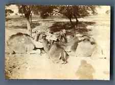 India, Chameaux près de Ruines de Indrapat Vintage citrate print.   Tirage c