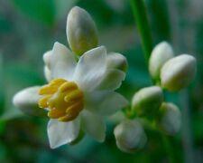 Nandina domestica - divins bambou - 10 graines