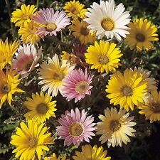 AFRICAN Daisy Harlequin Mix Seeds (F 3)