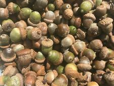 Lot of 100 Fresh Real Oak Tree Acorns with and without Caps - Quantity Discount