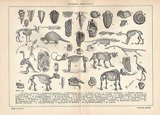 A6234 Fossili Animali - Stampa Antica del 1926 - Incisione