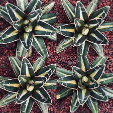 1 PIANTA Agave victoriae reginae INDONESIAN GOLD 6cm THIN mediopicta variegated