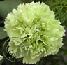 Seeds Carnation Green Flower Balcony Garden Plants Dianthus Caryophyllus 400 Pcs