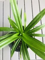 """Pandan leaves (lá Dứa) 10""""-14"""" Tall- 1 Live Plant With Root"""