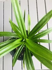 "Pandan leaves (lá Dứa) 10""-14"" Tall From Roots - 1 Live Plant With Root"