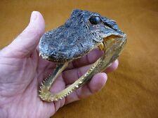 """G-Def-327) 4-1/8"""" Deformed Gator ALLIGATOR HEAD jaw teeth TAXIDERMY weird gators"""