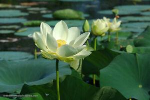5 Seeds - American Lotus (Nelumbo lutea)
