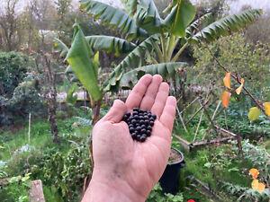 Lot de cinquante graines de canna indica, rhizome comestible, conflore