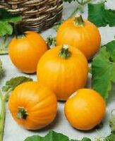 25 Seeds Pumpkin Wee-B-Little True Small Pumpkin Pumpkin Seeds
