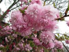 Japanische Nelkenkirsche Kanzan Prunus serrulata Kanzan 40-60cm Frühlingsblüher