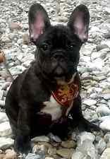 Welpen Hundegeschirr Für französische bulldoggen mops aus weichem Rindleder RAR