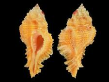 Pterynotus bibbeyi - Shells from all over the World NEW!!!