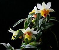 Orchid species (rare orchid) Dendrobium bellatulum near blooming 1 plant