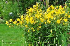 Nachtkerze Oenothera biennis Blume Samen VERSANDKOSTENFREI !!!