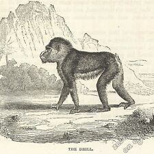 Drill Monkey: antique 1866 engraving print - primate picture art nature wildlife